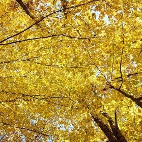 Branches Autumn Yellow Live Leaves Tree High